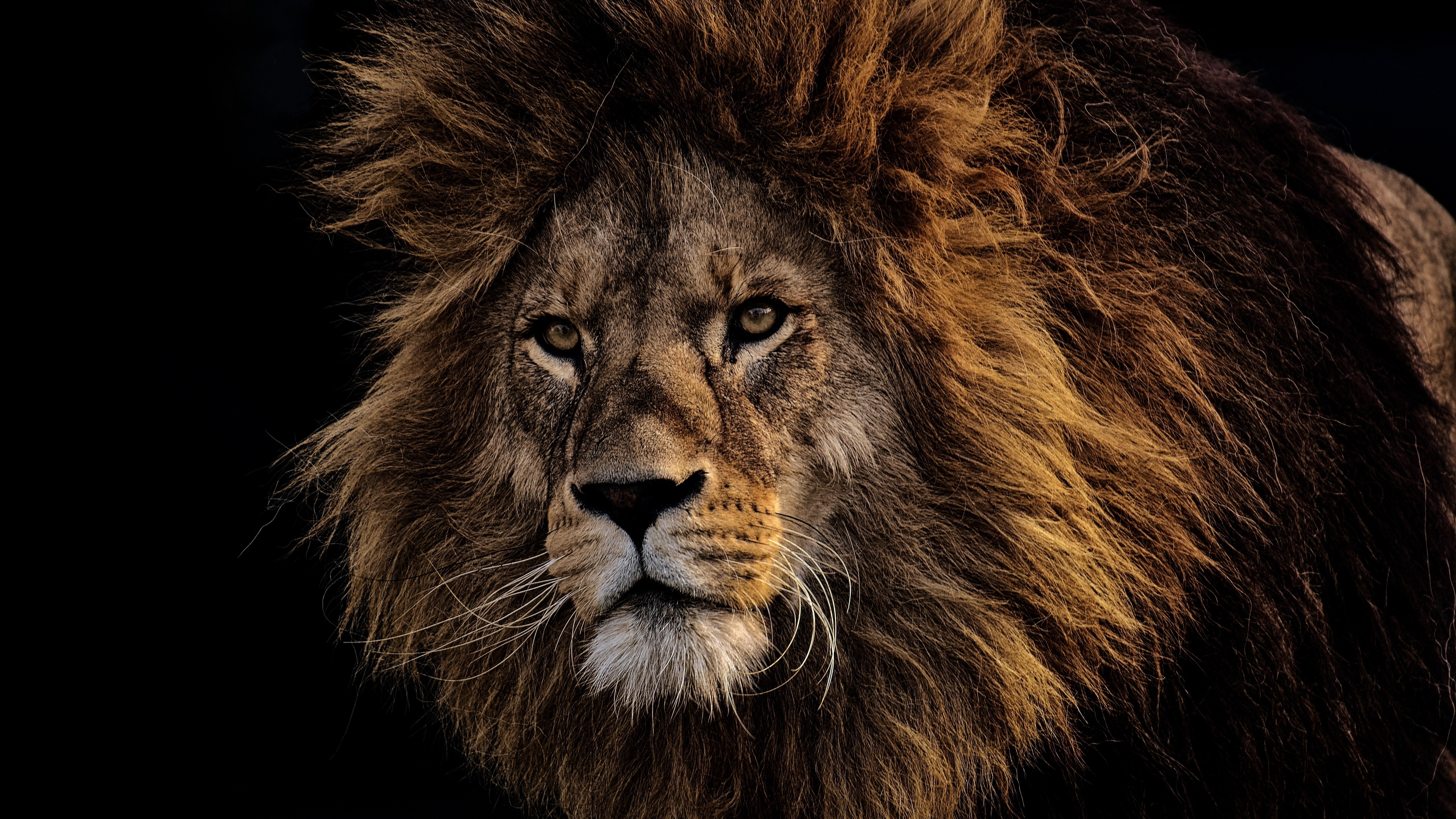 Male Lion 4k Ultra HD Wallpaper   Background Image ...