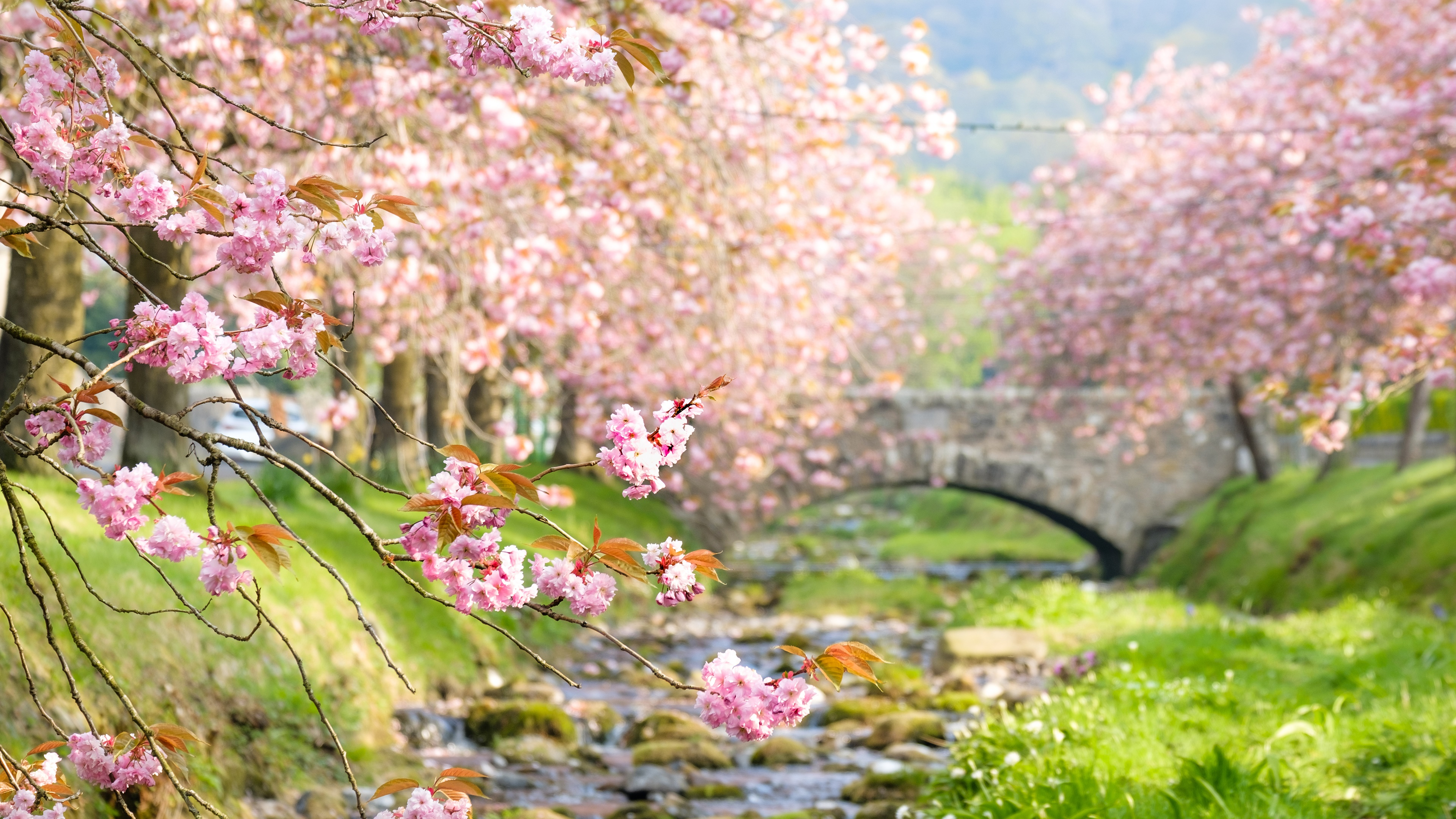 Cherry Blossom Trees 4k Ultra Hd Wallpaper Background Image 3840x2160 Id 1000500 Wallpaper Abyss