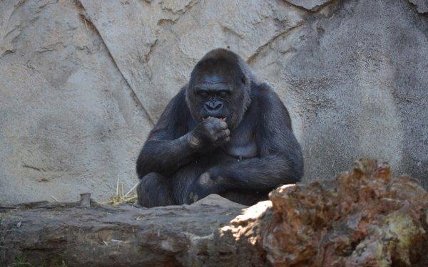 Animal Gorilla Monkeys Ape Zoo HD Wallpaper | Background Image
