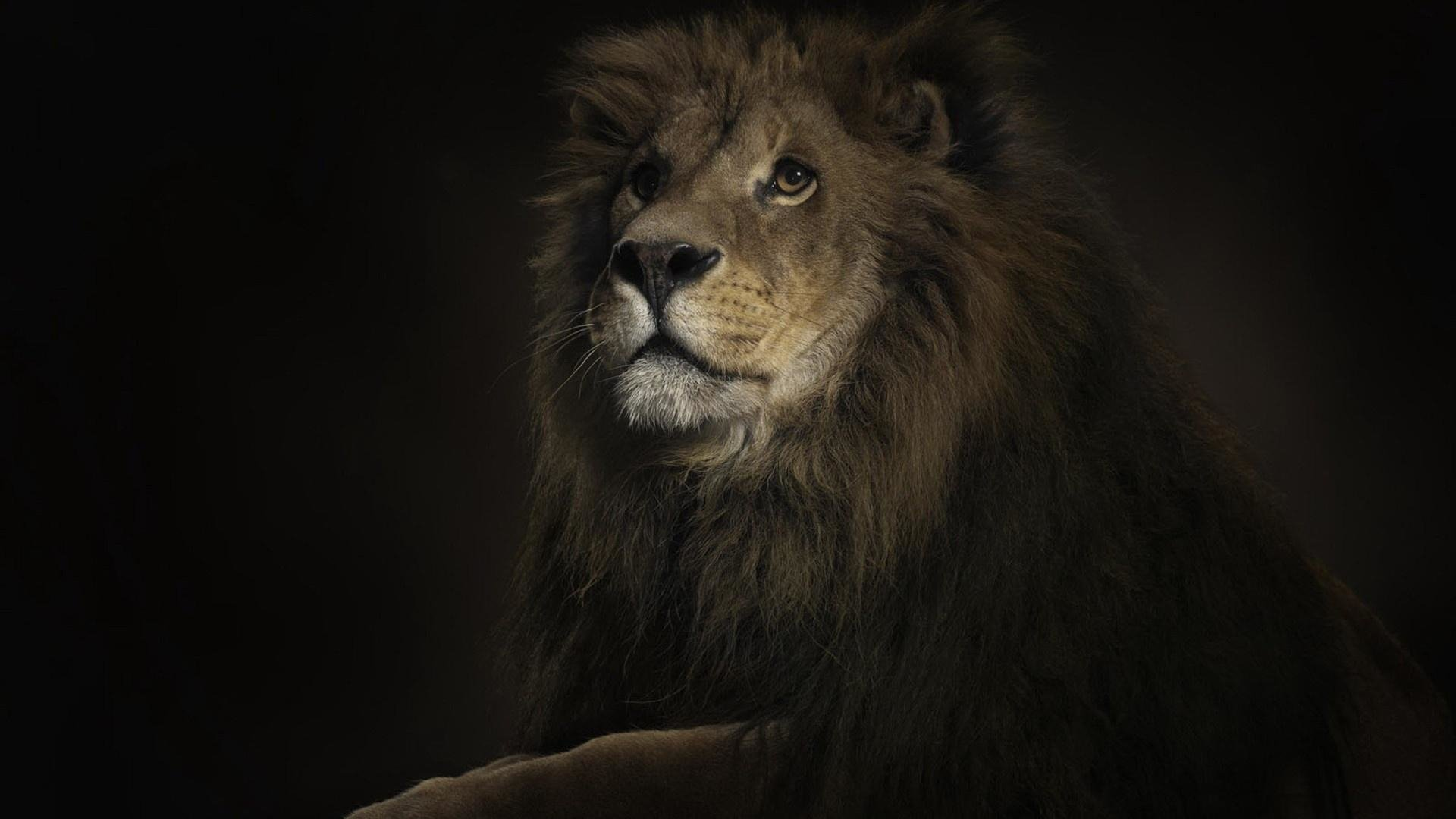 1160 Lion Hd Wallpapers Background Images Wallpaper Abyss