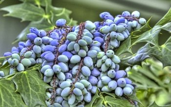 Preview Food - Grapes Art