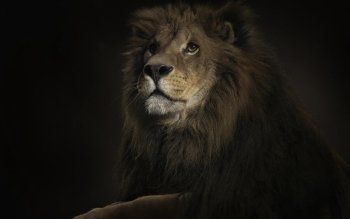 Animal - Lion Wallpapers and Backgrounds ID : 101493