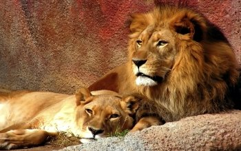 Animal - Lion Wallpapers and Backgrounds ID : 101533