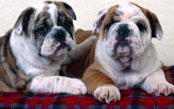Animal - Bulldog Wallpapers and Backgrounds ID : 101763