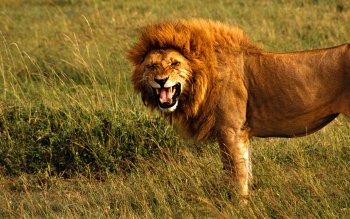 Animal - Lion Wallpapers and Backgrounds ID : 101833