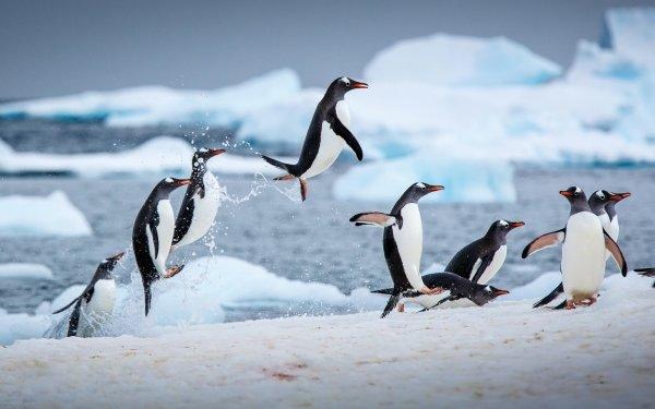 Animal Penguin Birds Penguins Wildlife HD Wallpaper | Background Image