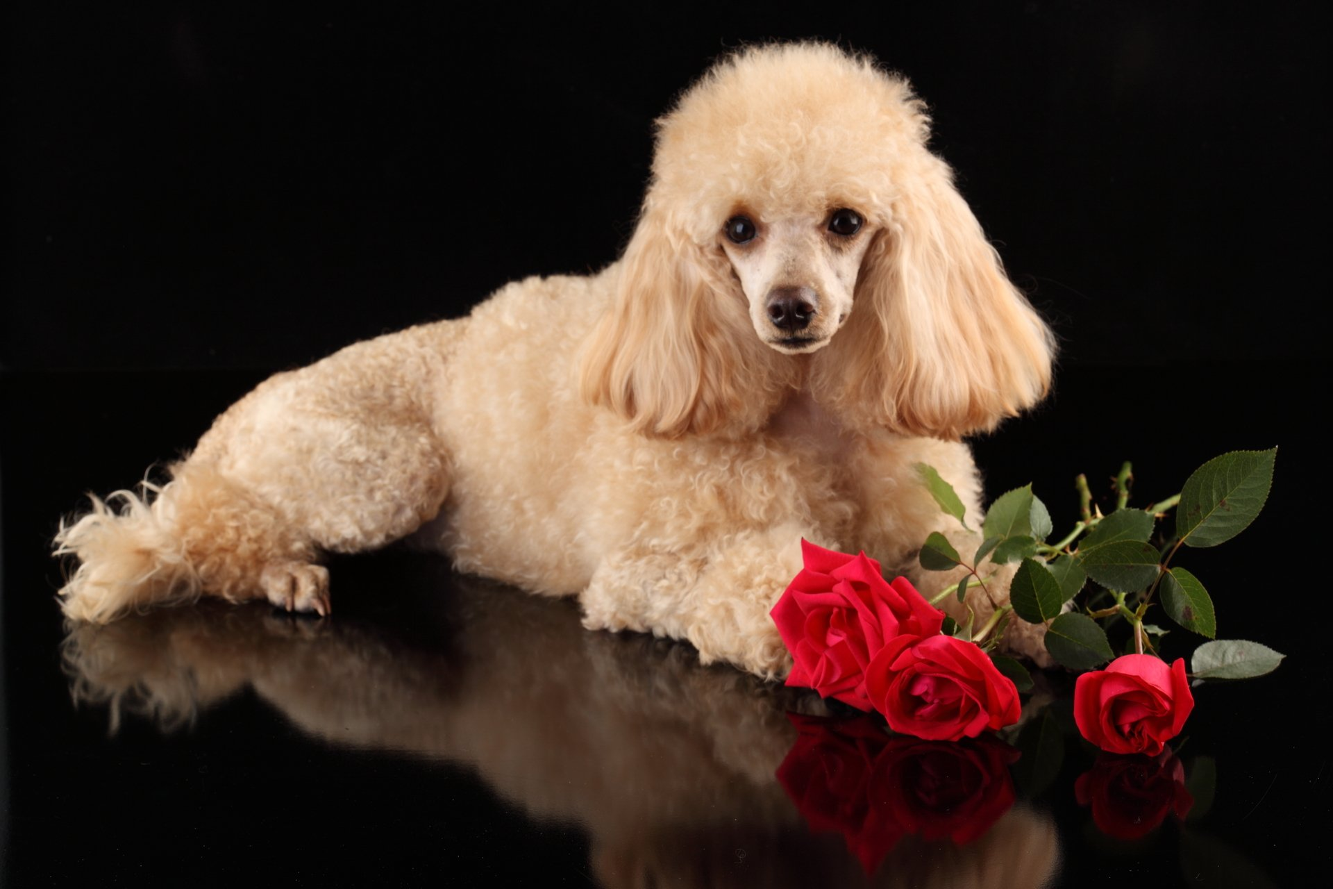 19 Poodle Hd Wallpapers Background Images Wallpaper Abyss
