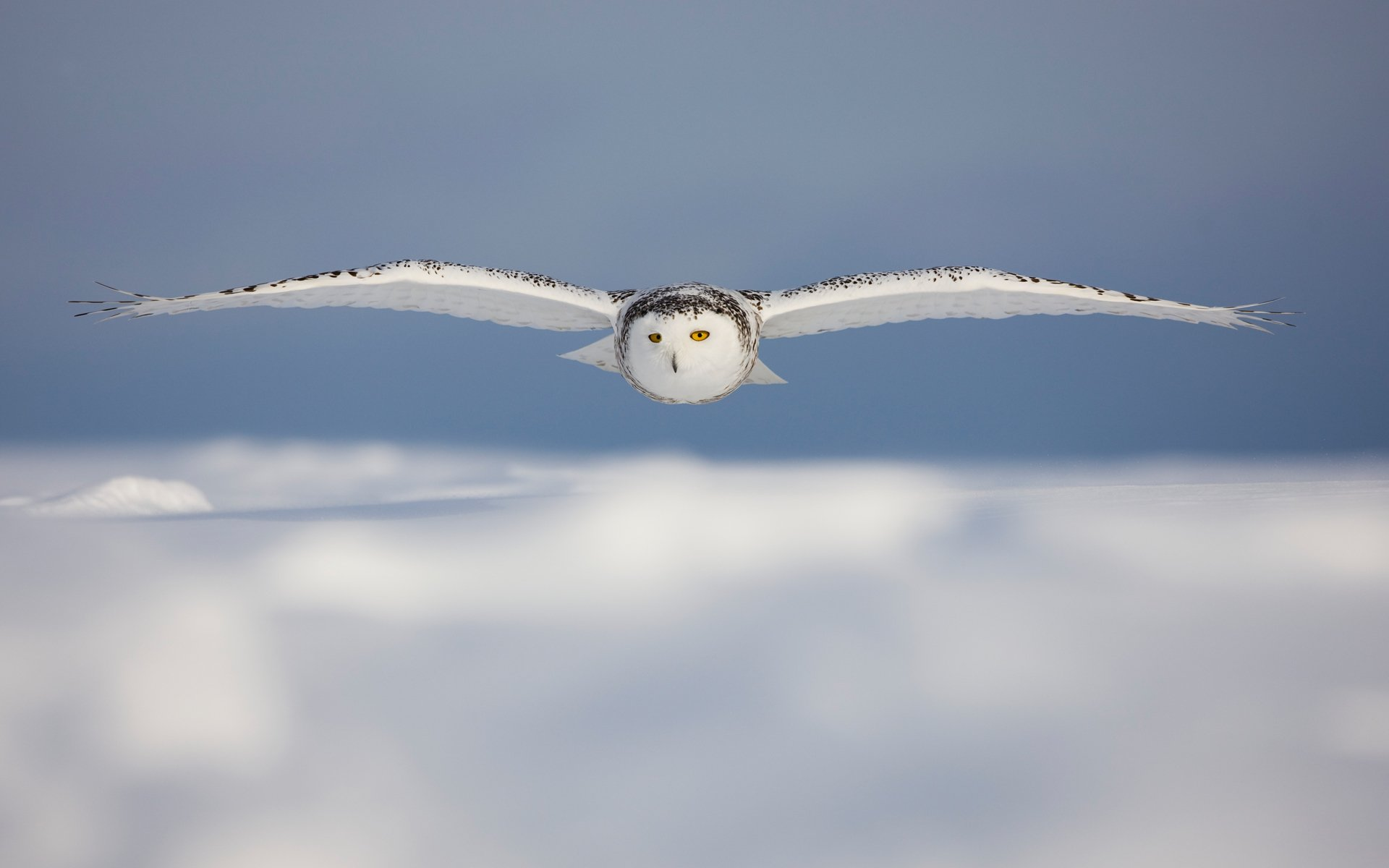 105 Snowy Owl Hd Wallpapers Background Images Wallpaper