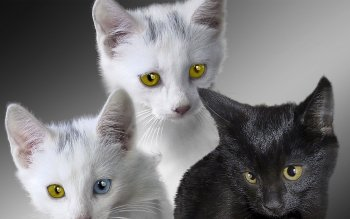 Animalia - Gato Wallpapers and Backgrounds ID : 102733