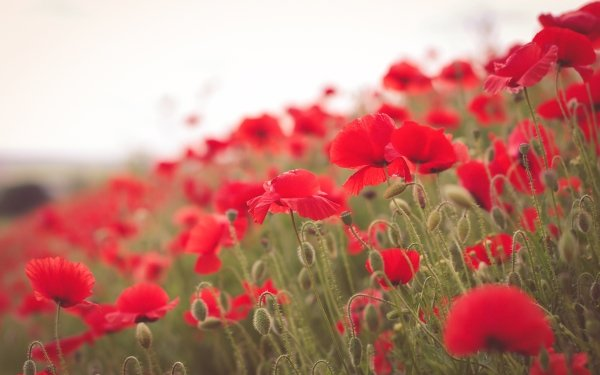 Earth Poppy Flowers Summer Flower Red Flower Nature Close-Up HD Wallpaper | Background Image
