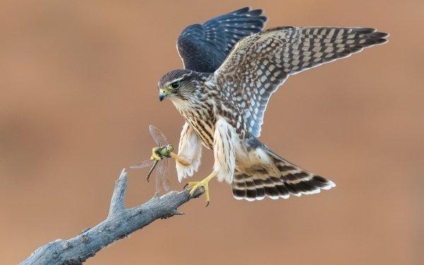 Animal Hawk Birds Birds of prey HD Wallpaper | Background Image
