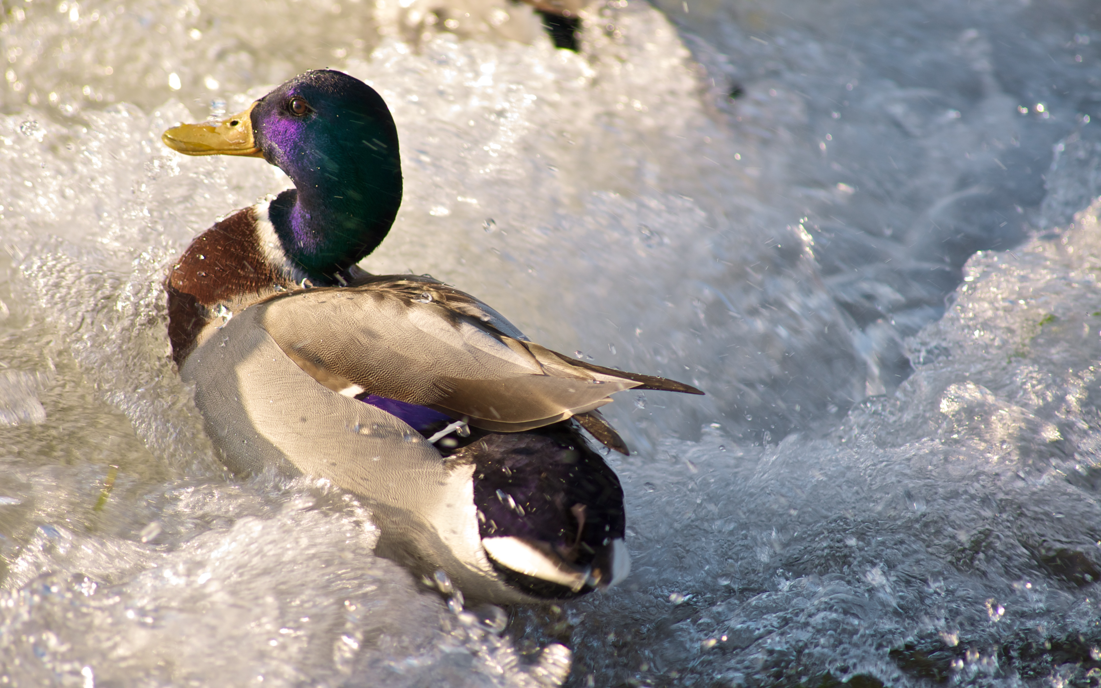 Duck Hunting Wallpaper Duck Against Water 4k ...