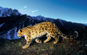 Tier - Leopard Wallpapers and Backgrounds ID : 103003