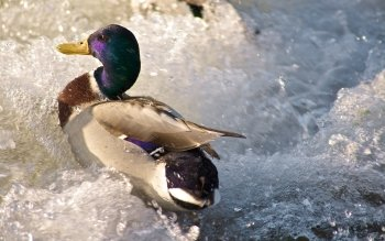 Animal - Duck Wallpapers and Backgrounds ID : 103843