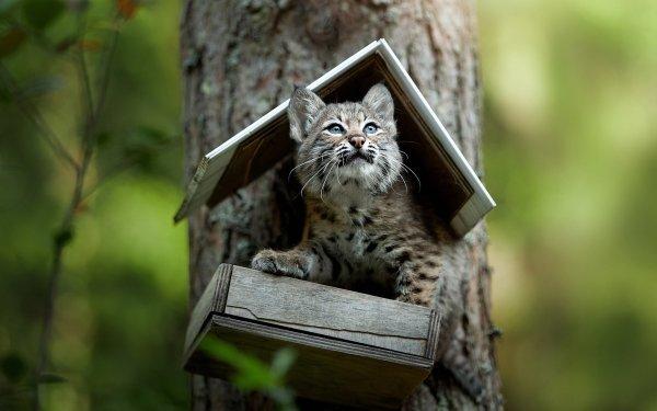 Animal Lynx Cats Cub Baby Animal Big Cat HD Wallpaper | Background Image