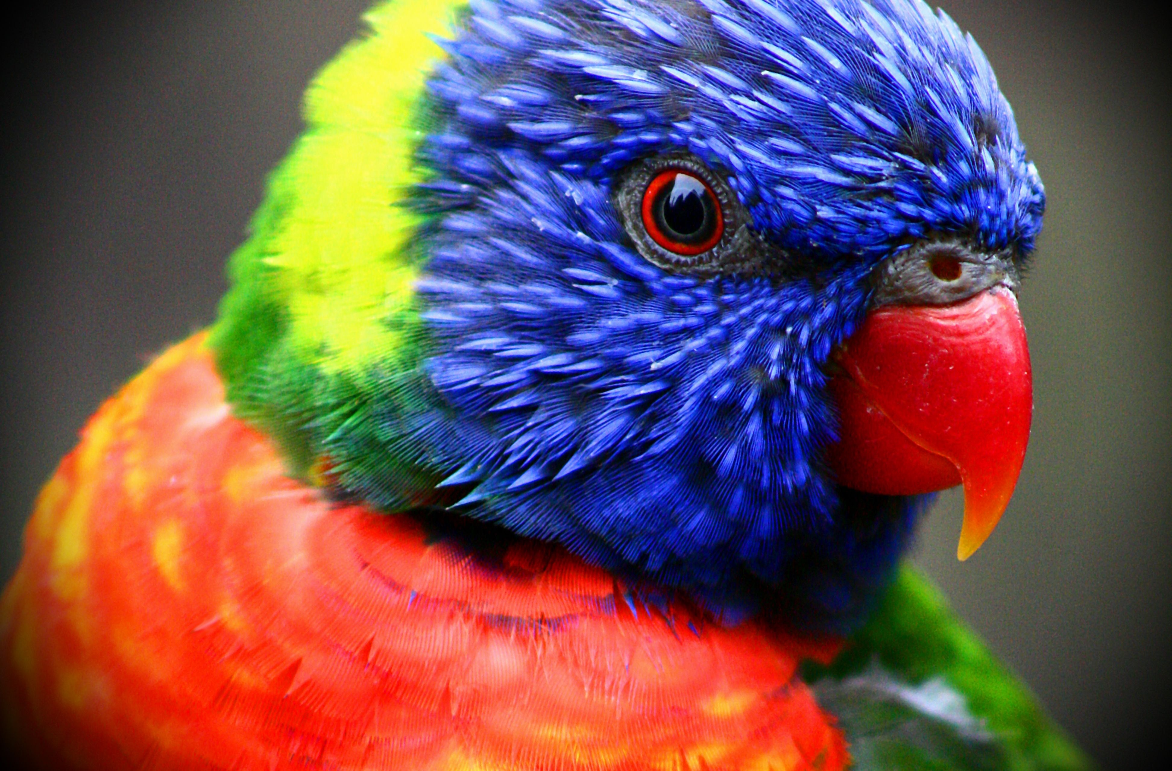 Rainbow Lorikeet HD Wallpapers Backgrounds Wallpaper