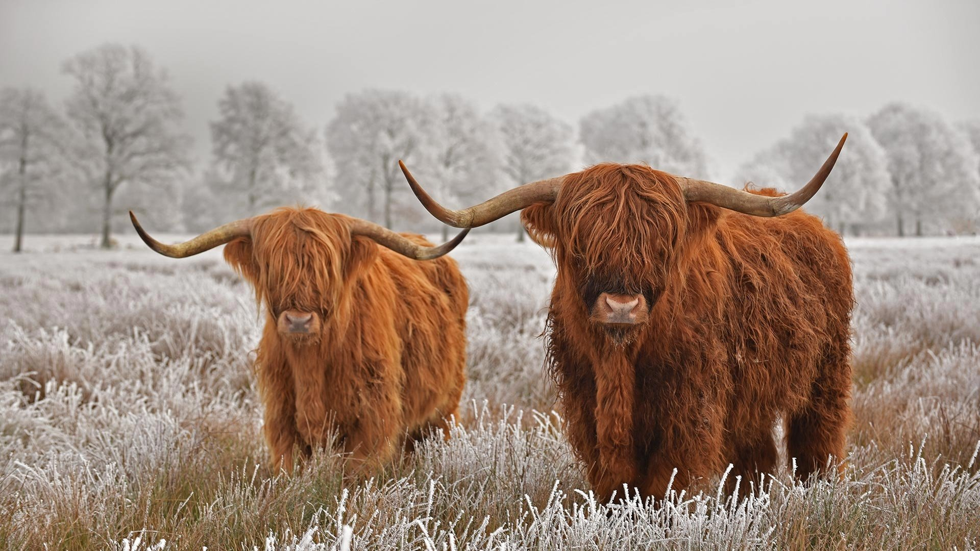 Highland Cattle Hd Wallpaper Background Image 1920x1080 Id 1053738 Wallpaper Abyss
