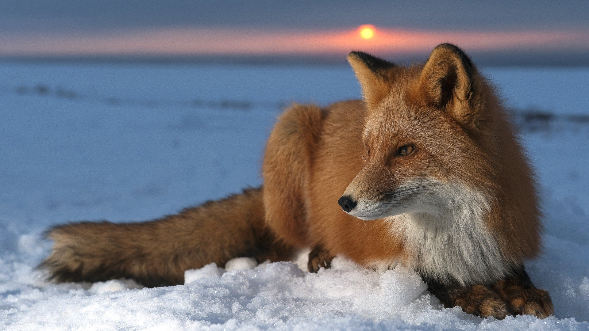 Hd wallpaper down - Animal Fox Sunset Snow Animal Wildlife Wallpaper Download
