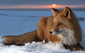 Animal - Fox Wallpapers and Backgrounds ID : 106581