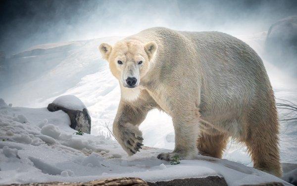 Animal Polar Bear Bears Wildlife predator Snow HD Wallpaper | Background Image
