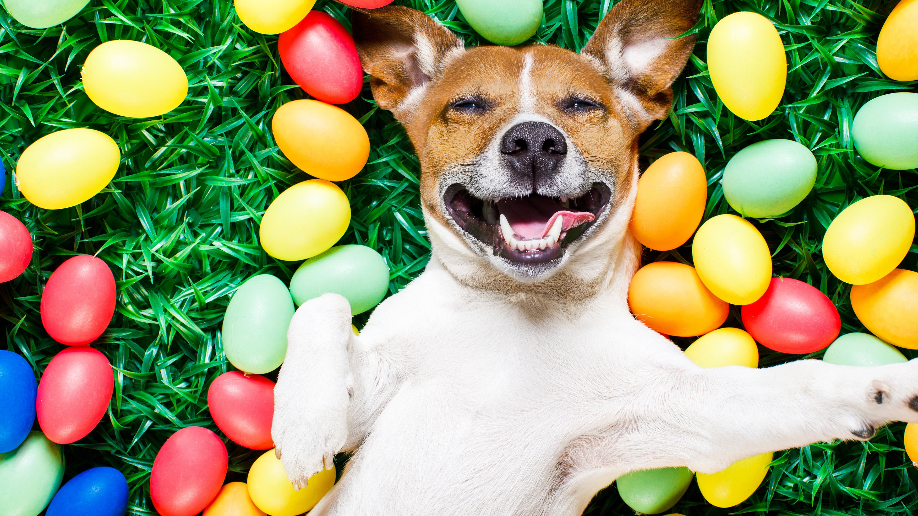 Dog Lying Down On Easter Eggs 4k Ultra Hd Wallpaper Background Image 3840x2160 Id 1071252 Wallpaper Abyss