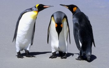 Animal - Penguin Wallpapers and Backgrounds ID : 108593