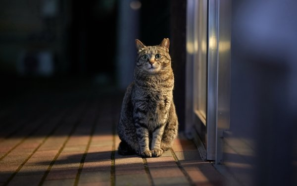 Animal Cat Cats Pet HD Wallpaper   Background Image