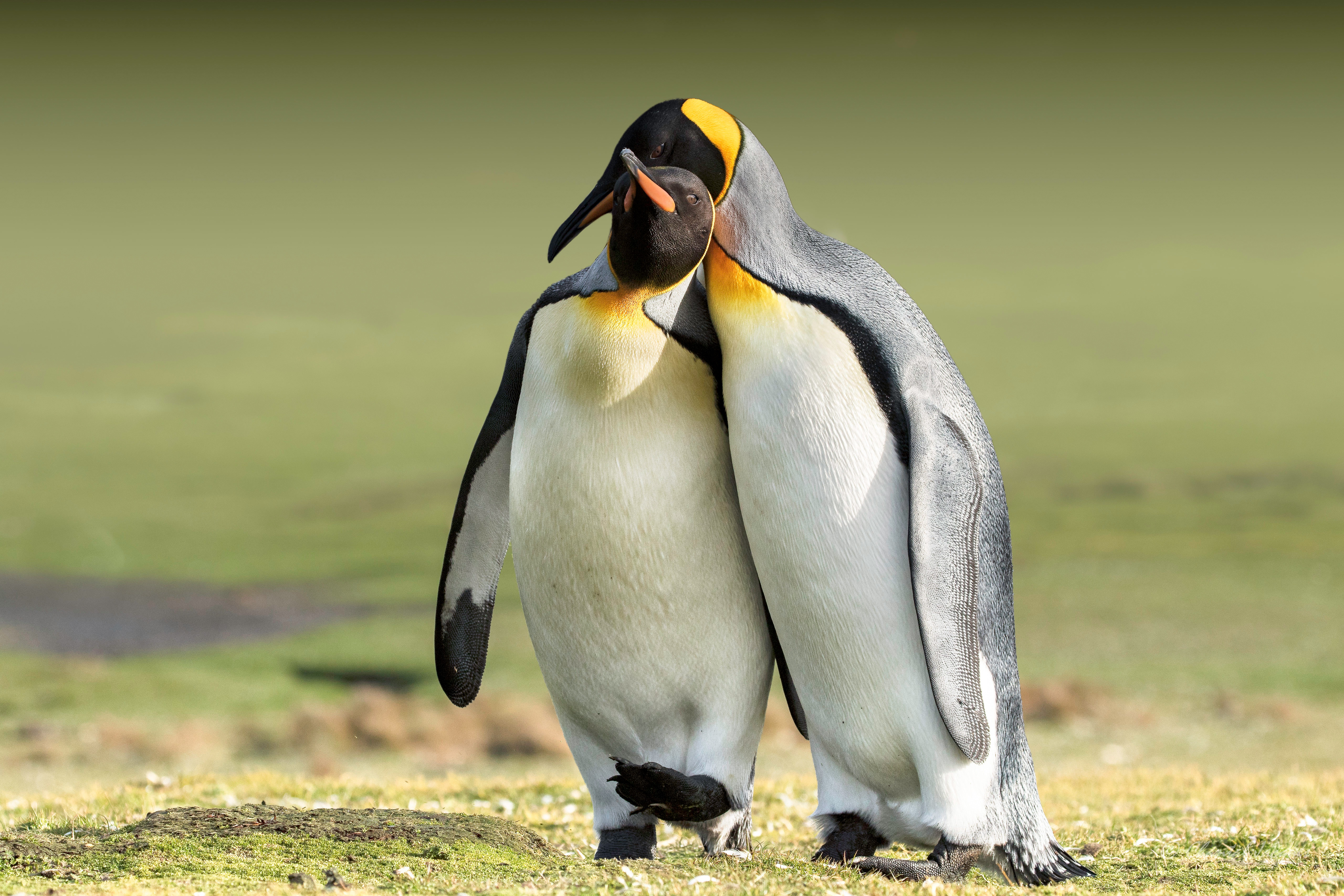 Two Penguins In Love 4k Ultra HD Wallpaper   Background