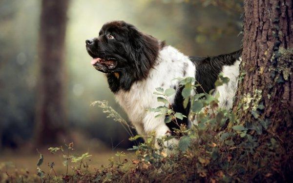 Animal Newfoundland Dogs Dog HD Wallpaper | Background Image