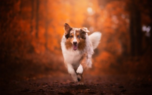 Animal Dog Dogs Pet Depth Of Field Australian Shepherd HD Wallpaper   Background Image