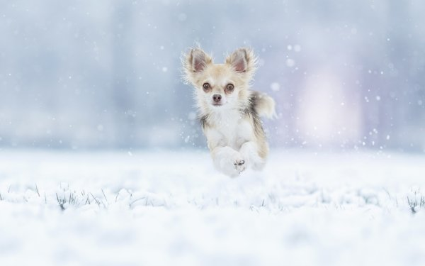 Animal Chihuahua Dogs Winter Snow Jump Dog Pet Running HD Wallpaper | Background Image