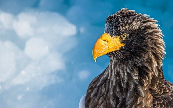 Animal Steller's sea eagle Birds Eagles Bird Eagle Bird Of Prey HD Wallpaper | Background Image