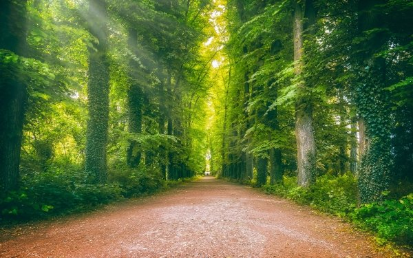 Man Made Road Forest Trunk Ivy Greenery HD Wallpaper | Background Image
