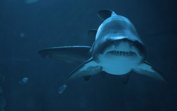 Animal - Shark Wallpapers and Backgrounds ID : 113643