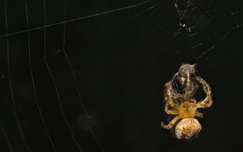 Animal - Spider Wallpapers and Backgrounds ID : 115293