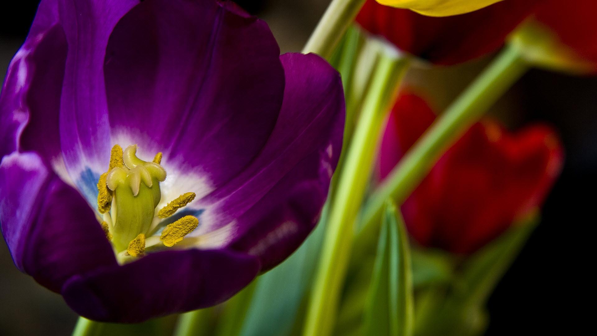 Tulip Purple Flower CloseUp