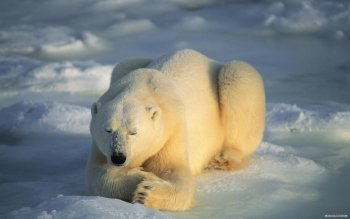 Animal - Polar Bear Wallpapers and Backgrounds ID : 116471