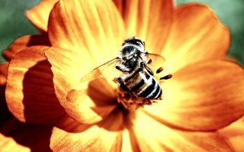 Animal - Bee Wallpapers and Backgrounds ID : 117173