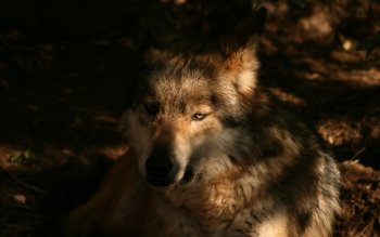 Djur - Wolf Wallpapers and Backgrounds ID : 117981