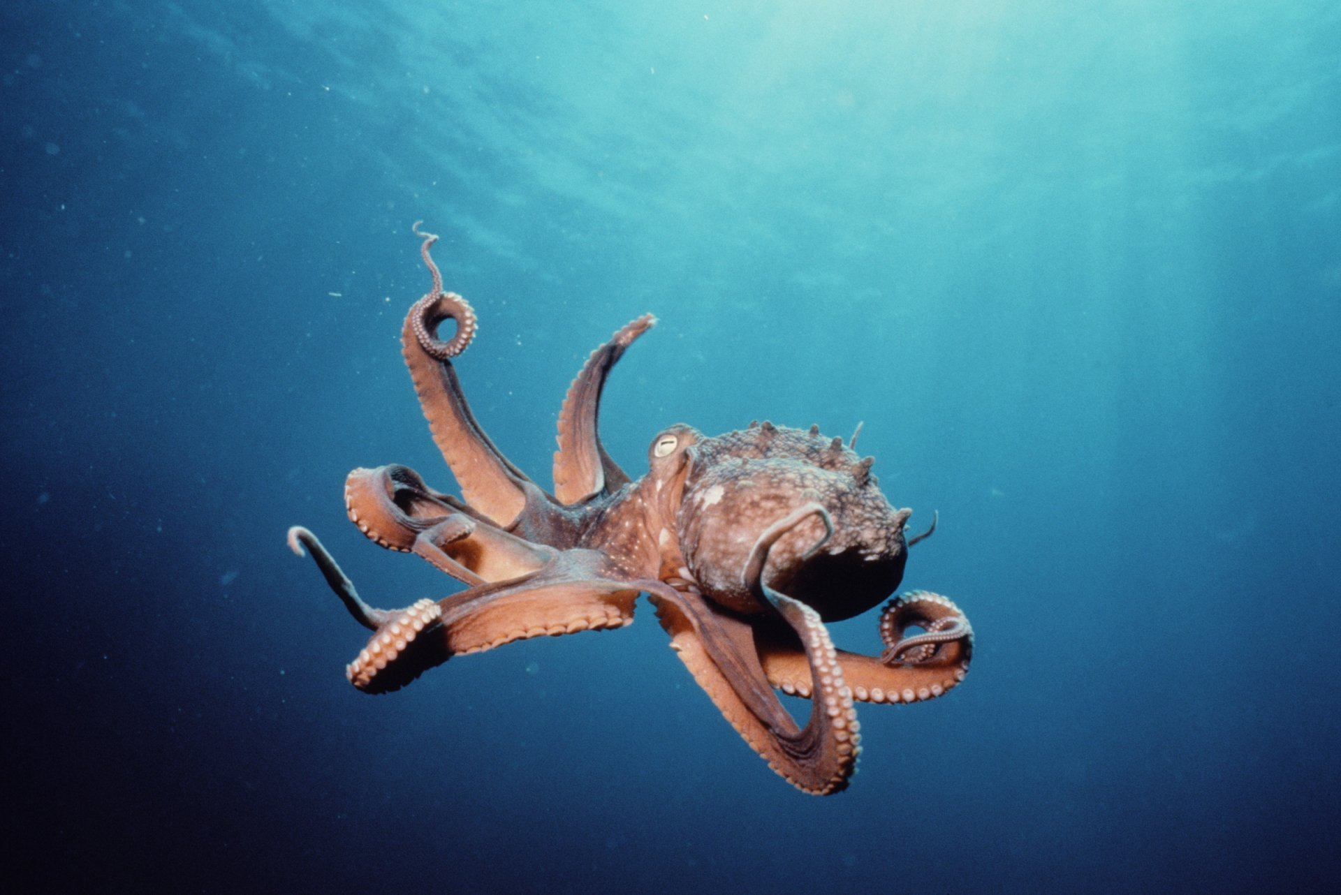 Animal - Octopus  Wallpaper