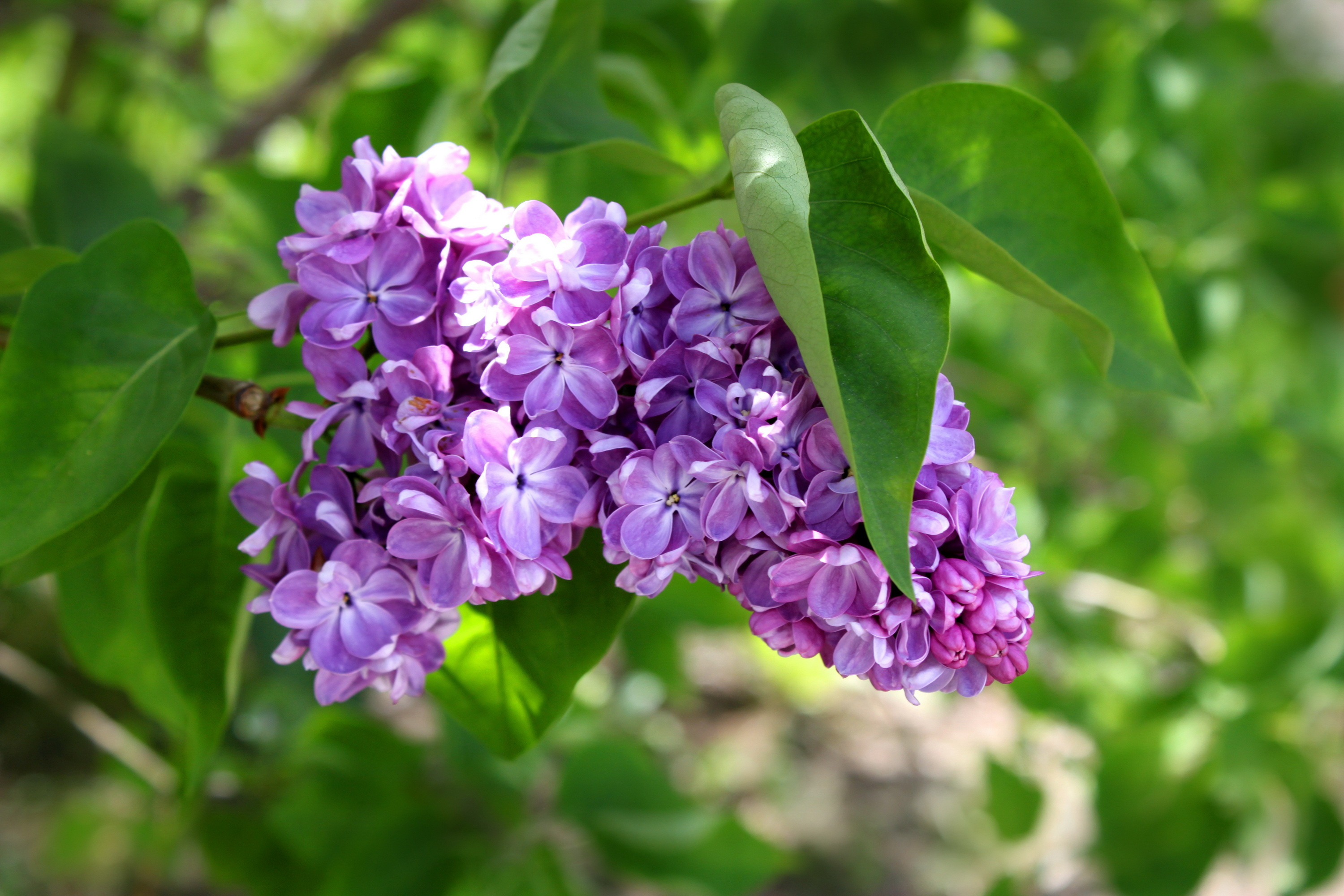Lilac hd wallpaper background image 3000x2000 id for Paesaggi di primavera per desktop