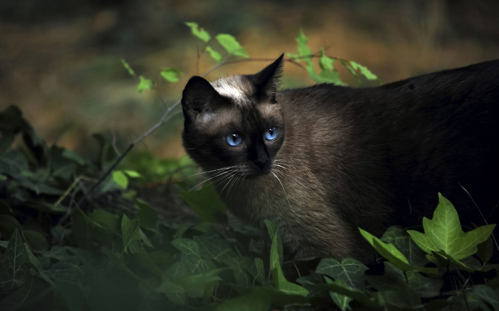 Animaux - Chat  Blue Eyes Plante Fond d'écran