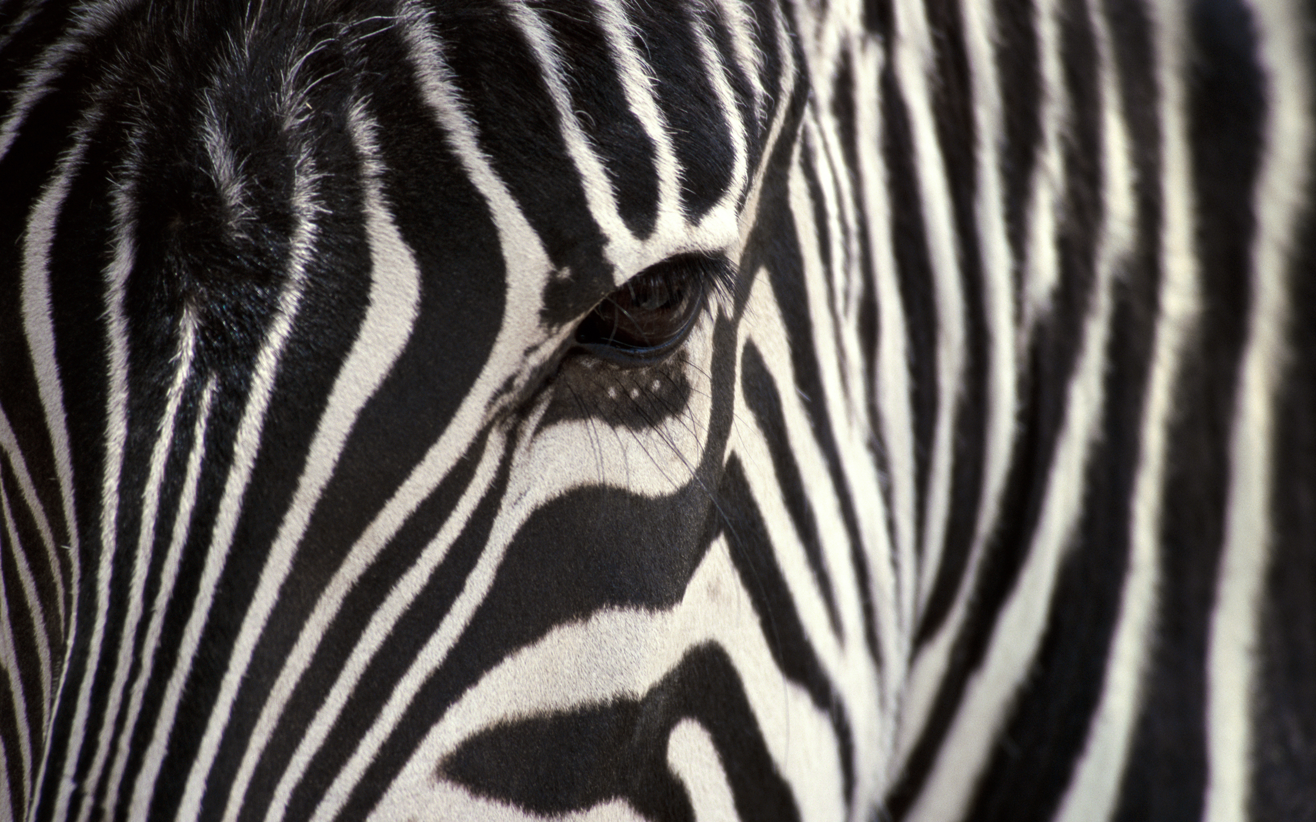 142 Zebra HD Wallpapers Backgrounds Wallpaper Abyss