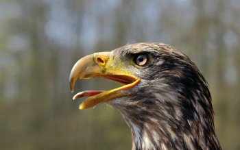 Animal - Eagle Wallpapers and Backgrounds ID : 139221