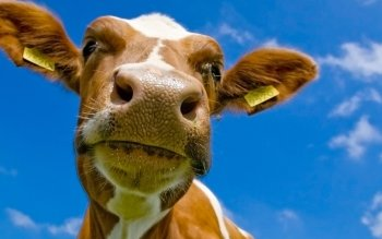 Animal - Cow Wallpapers and Backgrounds ID : 144323