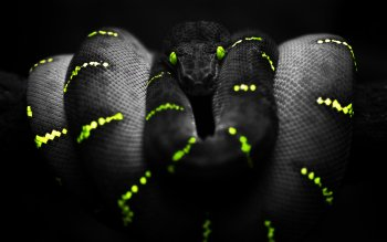 Animal - Snake Wallpapers and Backgrounds ID : 151733