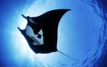 Animal - Manta Ray Wallpapers and Backgrounds