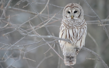 Animal - Owl Wallpapers and Backgrounds ID : 153031