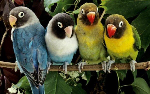 Animales Lovebird Aves Loros Loro Rama Ave Fondo de pantalla HD | Fondo de Escritorio