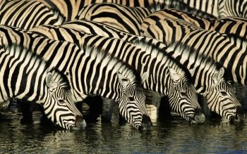 Animal - Zebra Wallpapers and Backgrounds ID : 163673